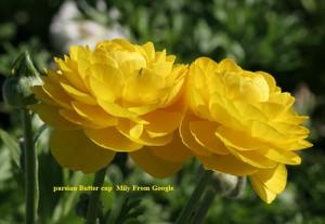 Ranunculus-asiaticus-flower