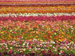 flower fields s strand s set 029