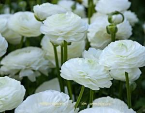 white-Rinunculus-_Fotor-510x399