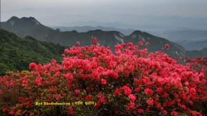 azalea-rhododendron-simsii-Planch-red-flowers-fruit-is-edible-to-eat