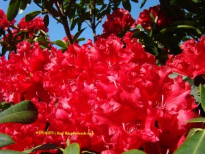 red-rhododendron-flowers-floral-art-prints-baslee-baslee-troutman-fine-art-prints