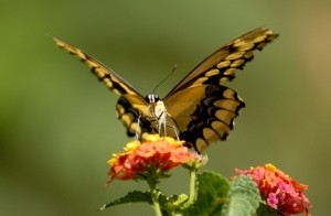butterfly on flower sm